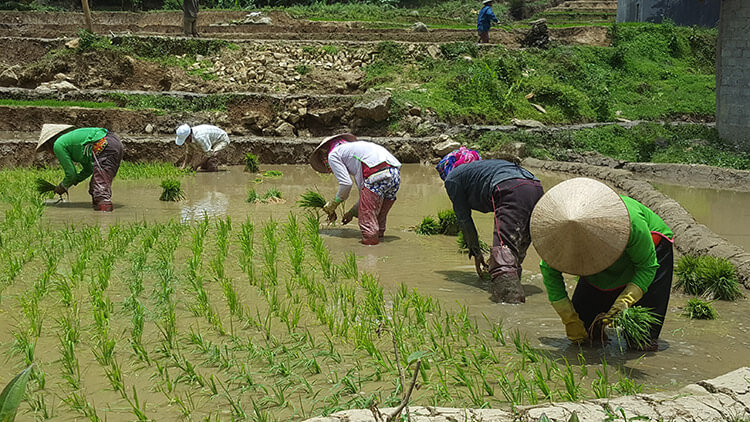 Planting rice in the paddies in Sapa, Vietnam