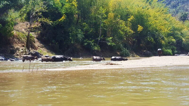 Water buffalo in the boatride from Thaton to Chiang Rai