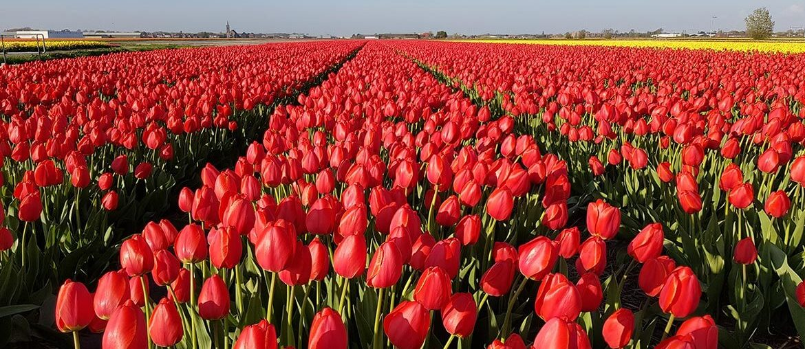How to see tulips at Keukenhof for free