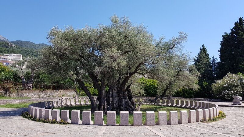 Oldest olive tree in europe