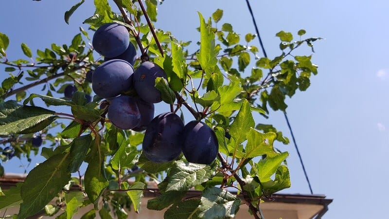 Travel Guide Krusevo: Free fruit