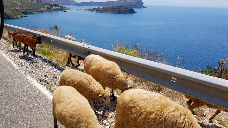 Things to do in Albania: Dodge Animals on the road