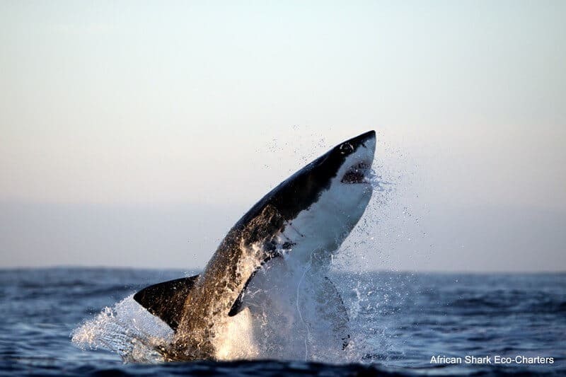 Great White Shark Breaching in False Bay in Cape Town