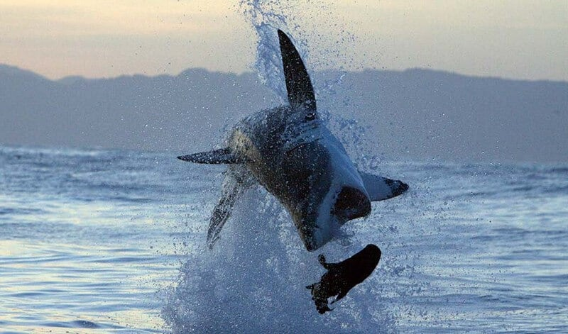 Breaching Shark Tour in Simonstown in Cape Town