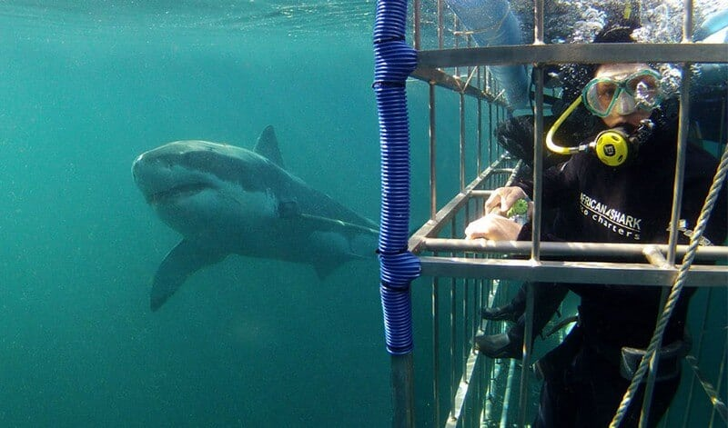 shark cage diving in Simonstown in Cape Town