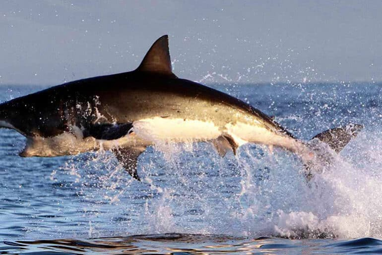 Great White Shark Cage Diving: Bucket List Experience