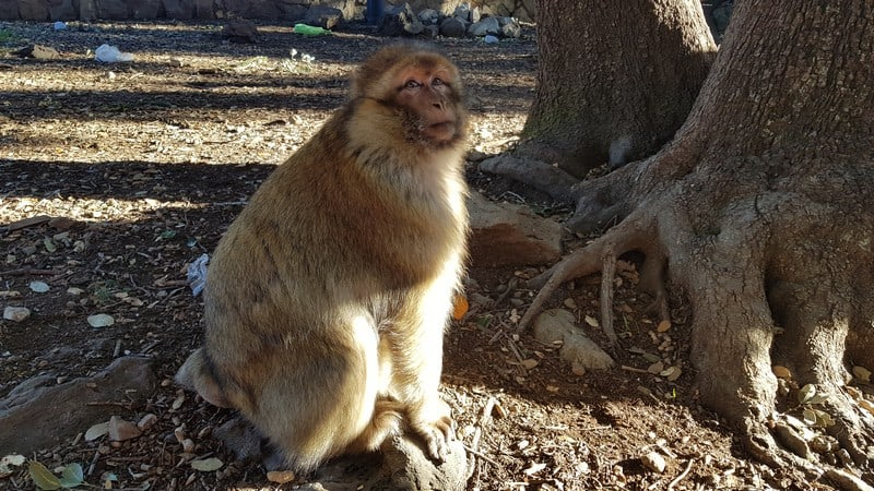 Barbary apes in cedar forest in Azrou Morocco