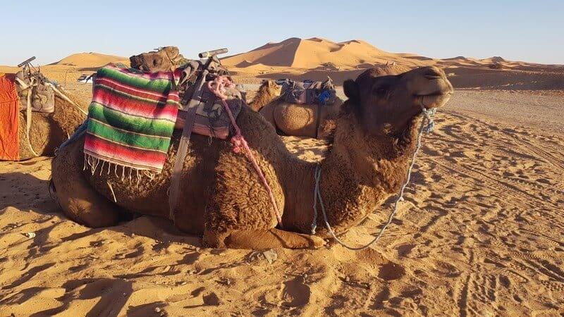 Merzouga Morocco: camel rides