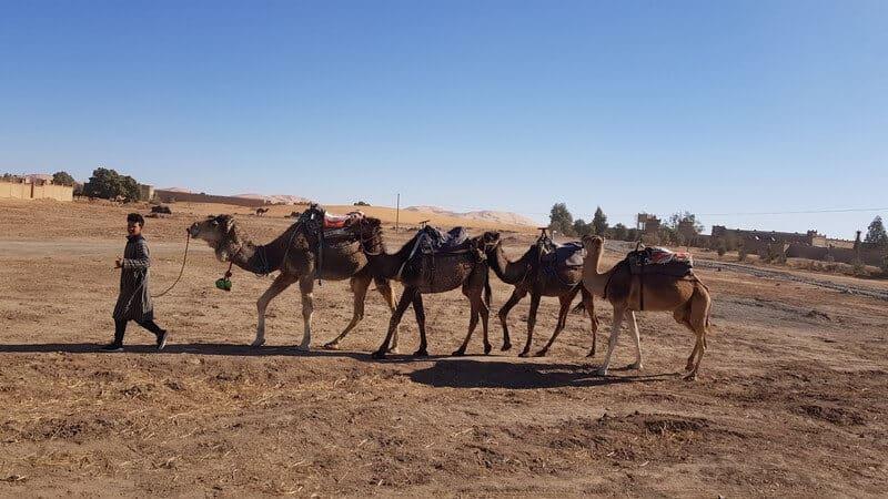 Merzouga Morocco: Camel caravan