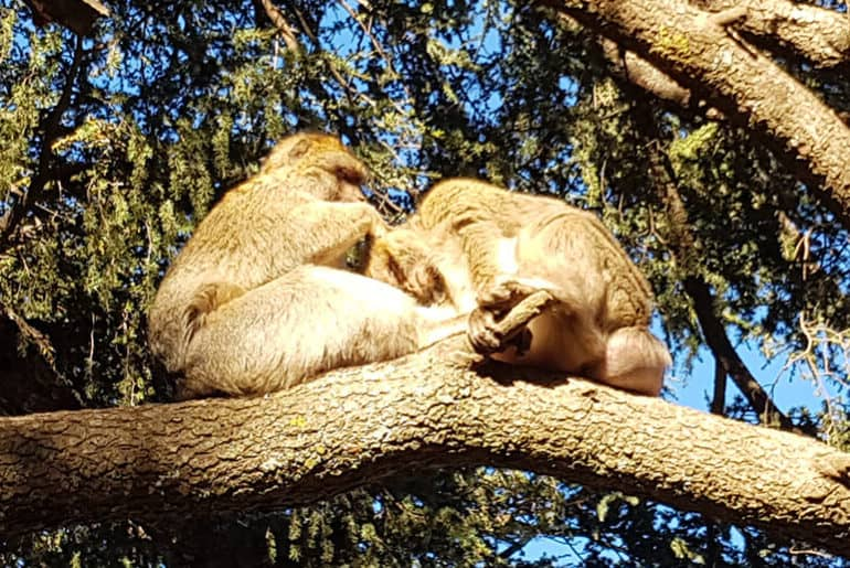 Barbary Apes in Azrou in the Middle Atlas Mountains in Morocco
