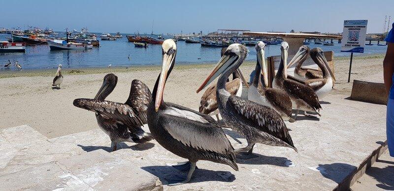 pelicans in Paracas