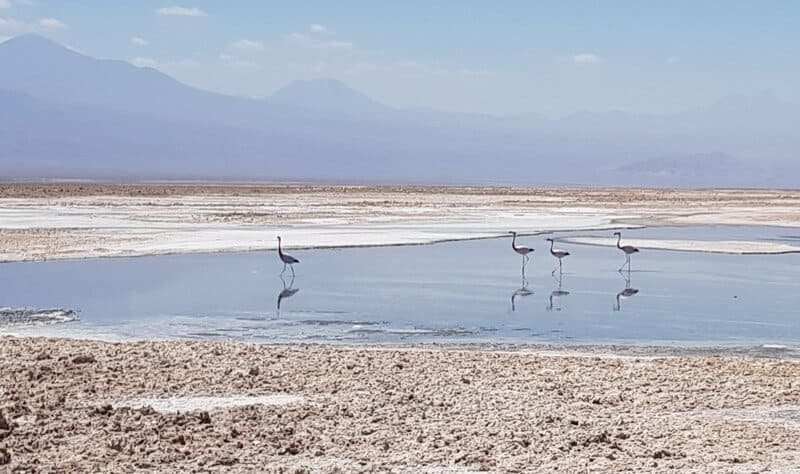 Flamingos at Laguna Chaxa in San Pedro de Atacama in Chile
