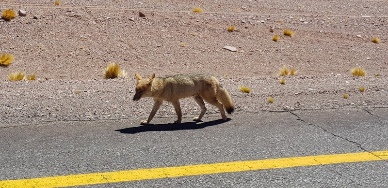 Wild fox on Ruta 27 in San Pedro de Atacama