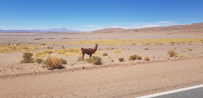 Alpaca on Ruta 27 in the Atacama Desert