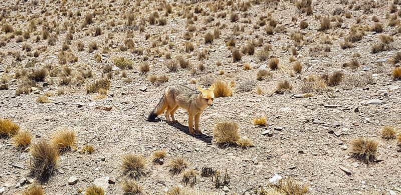 Wild fox in Parque Villavencencio in Mendoza Argentina